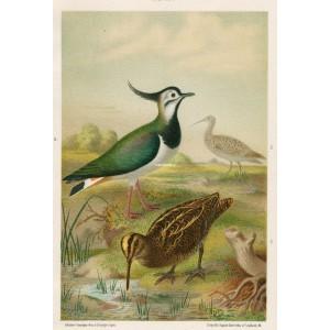 Čejka - sluka - koliha (Naši ptáci, tab.XXIV)