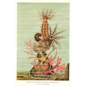 Sumýš kotvicový - Synapta inhaerens (Moře a jeho tvorstvo)