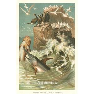 Mečoun - Xiphias gladius (Moře a jeho tvorstvo)