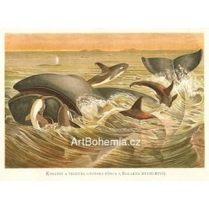 Kosatka a velryba grónská Orca a Balaena mysticetus (Moře a jeho tvorstvo)