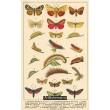 Atlas motýlů 19