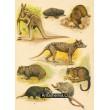 Klokan velký, Vlk vačnatý nebo zebří, Vombat tasmanský (Drapoš), Certour, Kusu o
