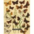 Melanargia, Erebia, Oeneis - Atlas motýlů střední Evropy, tab.13