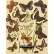 Satyrus, Pararge - Atlas motýlů střední Evropy, tab.14