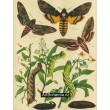 Acherontia, Sphinx - Atlas motýlů střední Evropy, tab.17