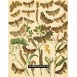 Agrotis, Charaeas, Neuronia, Mamestra - Atlas motýlů střední Evropy, tab.34
