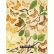 Eugonia, Selenia, Pericallia, Therapis, Himera… - Atlas motýlů střední Evropy, tab.45