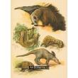 Atlas ssavců XIV