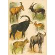 Atlas ssavců XVII