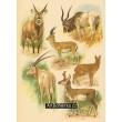 Atlas ssavců XVIII