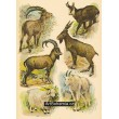 Atlas ssavců XIX