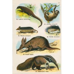 Savci (Malý Brehm) XIV
