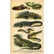 Atlas plazů, obojživelníků a ryb XVIII