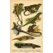 Atlas plazů, obojživelníků a ryb XIX