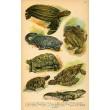 Atlas plazů, obojživelníků a ryb XXV