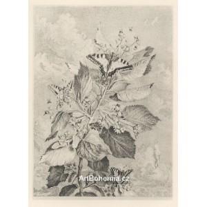 Kvetoucí lípa stříbrná