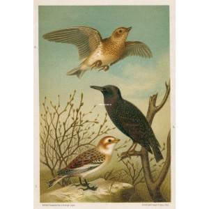 Skřivan - špaček - sněhule (Naši ptáci, tab.I)