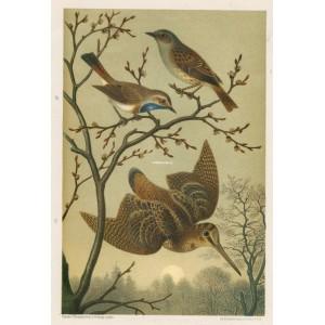 Pěnice - modráček - sluka (Naši ptáci, tab.III)