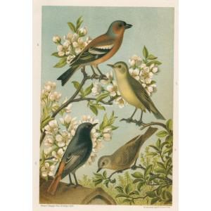 Pěnkava - sedmihlásek - rehek - lejsek (Naši ptáci, tab.IV)