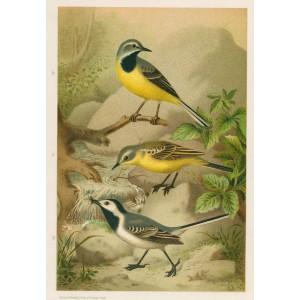 Konipas (Naši ptáci, tab.V)