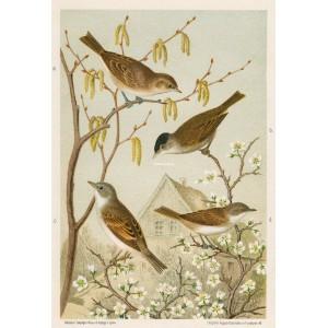 Pěnice - černohlávek (Naši ptáci, tab.VI)