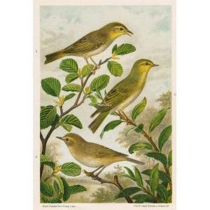 Budníček - sykavka (Naši ptáci, tab.VII)