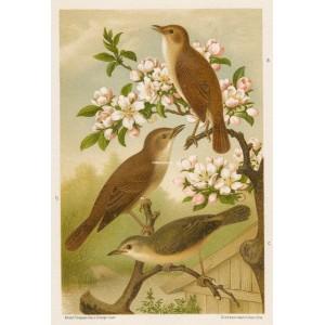 Slavík - rákosník (Naši ptáci, tab.VIII)
