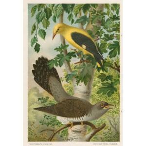 Žluva - kukačka (Naši ptáci, tab.X)