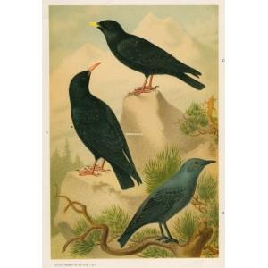 Drozd - kavče (Naši ptáci, tab.XII)