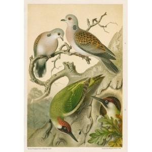 Hrdlička - žluna (Naši ptáci, tab.XIV)