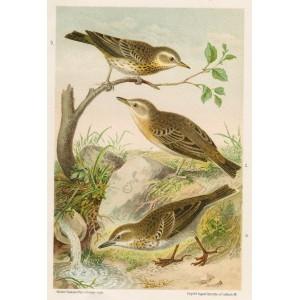 Linduška (Naši ptáci, tab.XVI)