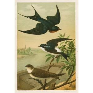 Vlaštovka - jiřička - břehule (Naši ptáci, tab.XVII)