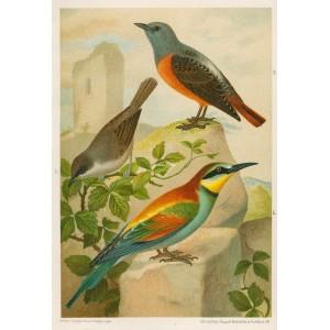 Drozd - pěnice - vlha (Naši ptáci, tab.XIX)