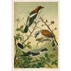 Ťuhýk (Naši ptáci, tab.XXI)