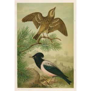 Linduška - špaček (Naši ptáci, tab.XXIII)