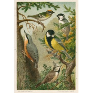 Králíček - brhlík - sýkora (Naši ptáci, tab.XXVII)