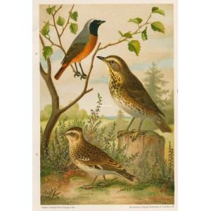 Rehek - cvrčala  - skřivan (Naši ptáci, tab.XXVIII)