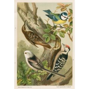 Šoupálek - sýkora - strakapúd (Naši ptáci, tab.XXIX)