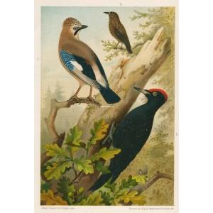 Sojka - ořešník - datel (Naši ptáci, tab.XXXIII)