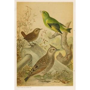 Střízlík - zvonek - chocholouš (Naši ptáci, tab.XXXIV)