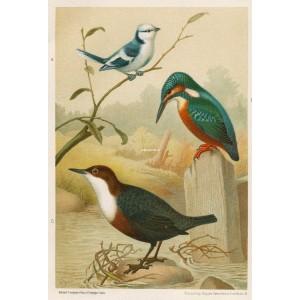 Modřinka - ledňáček - skorec (Naši ptáci, tab.XXXV)