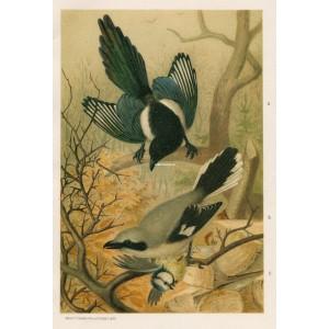 Straka - ťuhýk - sýkora (Naši ptáci, tab.XXXVI)
