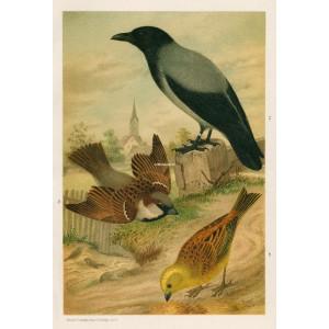 Vrabec - strnad - vrána (Naši ptáci, tab.XXXVII)