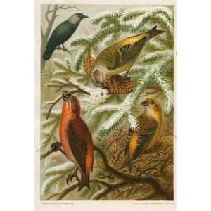 Křivka - kavka (Naši ptáci, tab.XXXX)