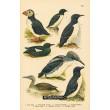 Atlas ptáků XXII