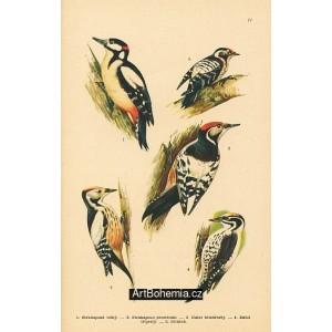 Atlas ptáků IV