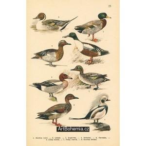 Atlas ptáků 25
