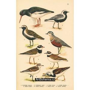 Atlas ptáků 21