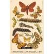 Atlas motýlů 13