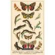 Atlas motýlů 16
